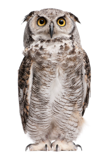 Front view of Great Horned Owl, standing and looking up. 108521211