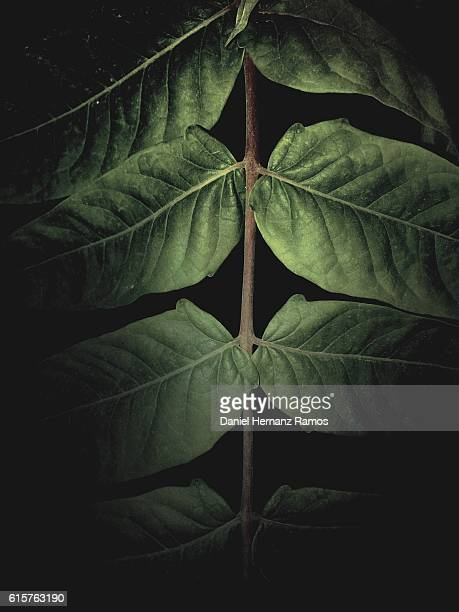 Front view of green leaves with black background
