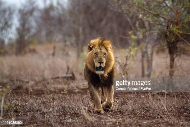 front view of lion walking in forest - south africa stock pictures, royalty-free photos & images