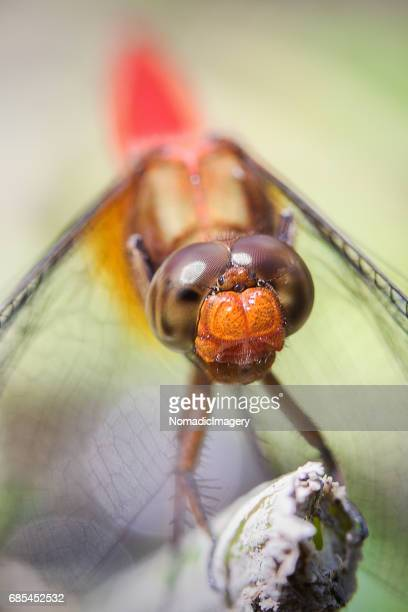 front view of orthetrum testaceum dragonfly close-up - bug eyes stock photos and pictures