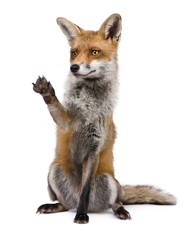 Front view of Red Fox sitting with paw raised. 482688741