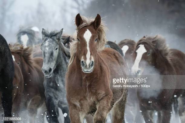 front view of running horses - images ストックフォトと画像