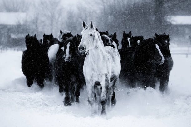 Front view of running horses