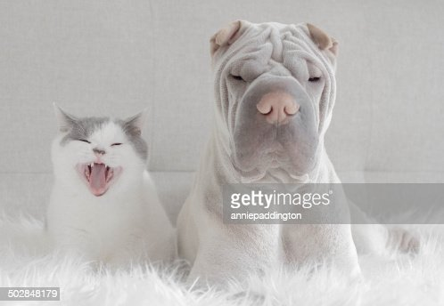 Front view of shar pei and cat