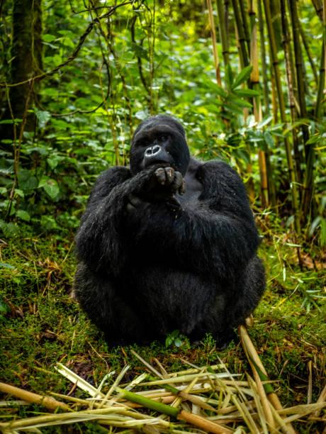 A front view of silverback mountain gorilla (Gorilla beringei beringei) sitting in Volcanoes National Park, Rwanda