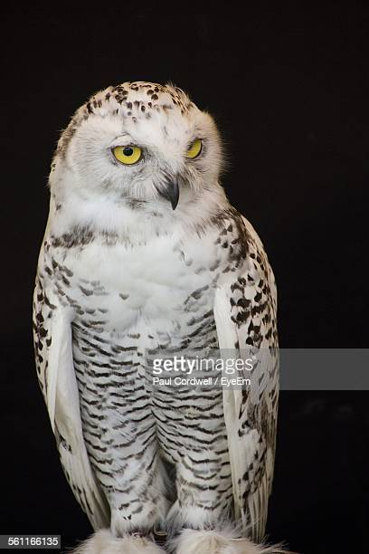 Front View Of Snowy Owl Against Black Background