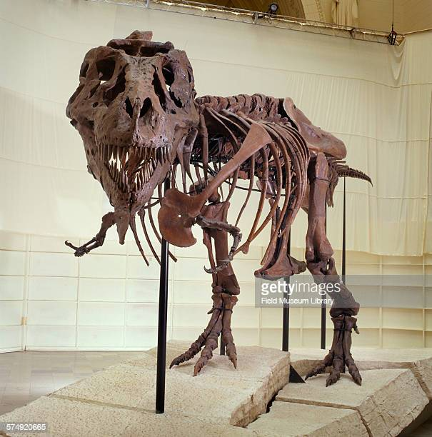 Front view of the completed and mounted fossil skeleton of Sue a Tyrannosaurus Rex at the Stanley Field Hall in the Field Museum Chicago Illinois May...