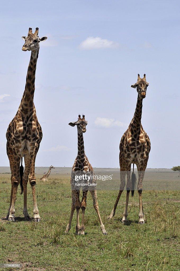 Giraffe (Giraffa camelopardalis) in front of sunset