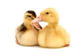 http://www.istockphoto.com/photo/front-view-of-two-little-ducks-on-white-background-gm901847620-248794904