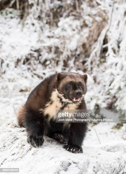 Front view of wolverine (Gulo gulo) sitting on snow, Haines, Alaska, USA