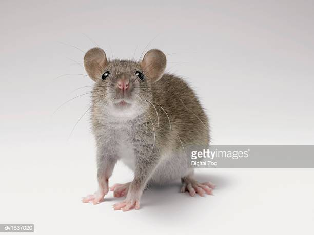 Front View Studio Shot of a Rat Standing Sniffing