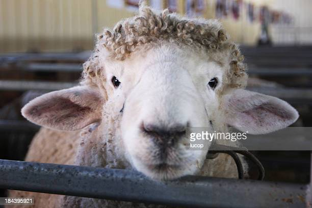 Frontal headshot of a sheep looking at camera
