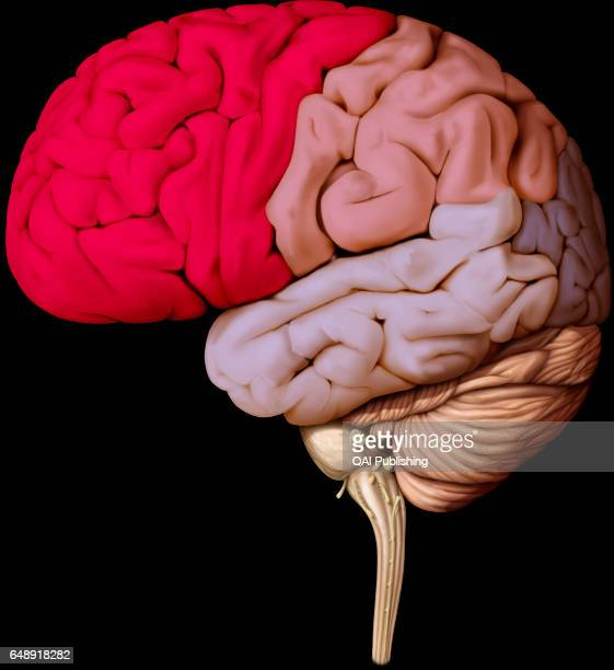 Frontal Lobe Stock Photos And Pictures Getty Images