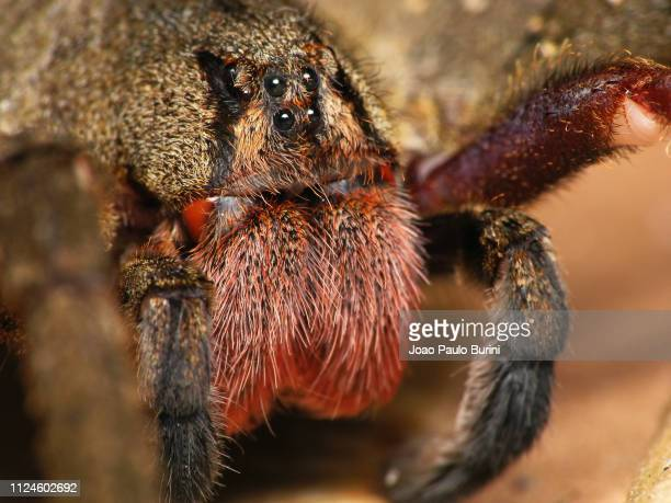 frontal macro of a brazilian wandering spider (armadeira) - braziliaanse zwerfspin stockfoto's en -beelden
