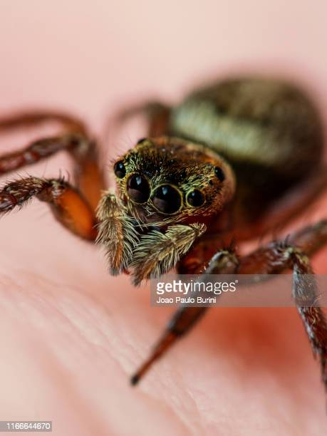frontal portrait of a jumping spider - ニワオニグモ ストックフォトと画像