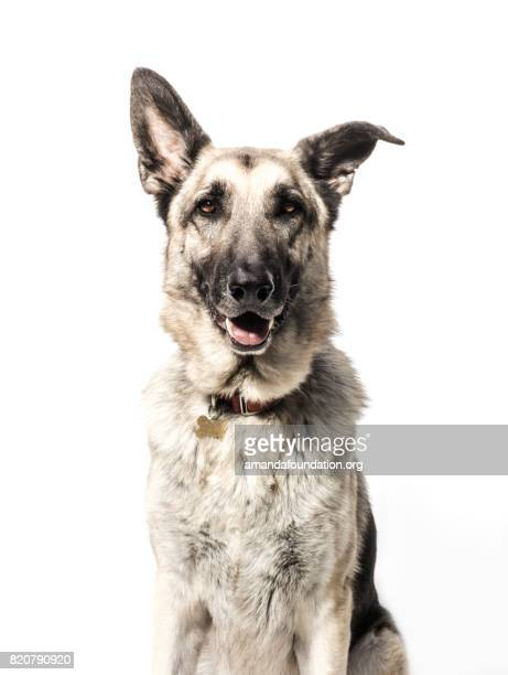 front-view portrait of a german shepherd - the amanda collection - collar stock pictures, royalty-free photos & images