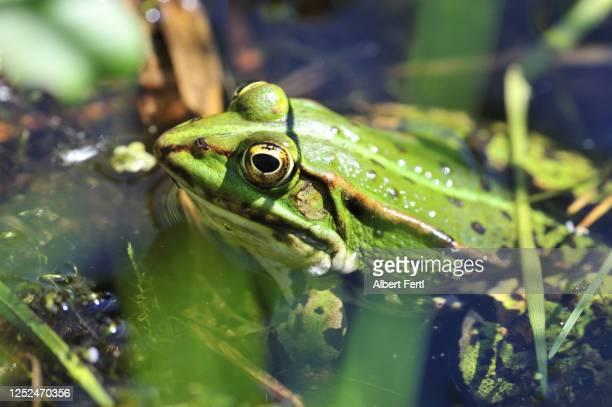 frosch im wasser - wasser imagens e fotografias de stock