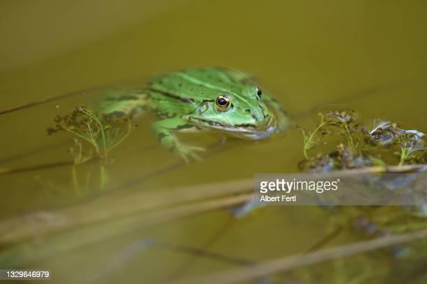 frosch im wasser - wasser stock pictures, royalty-free photos & images