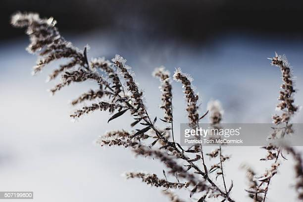 Frost and Snow on Dormant Weed