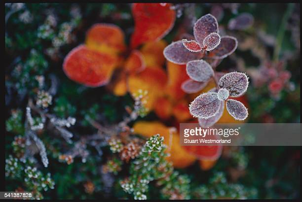 Frost Covered Bearberry Leaves