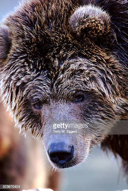 Frost Covered Grizzly Bear