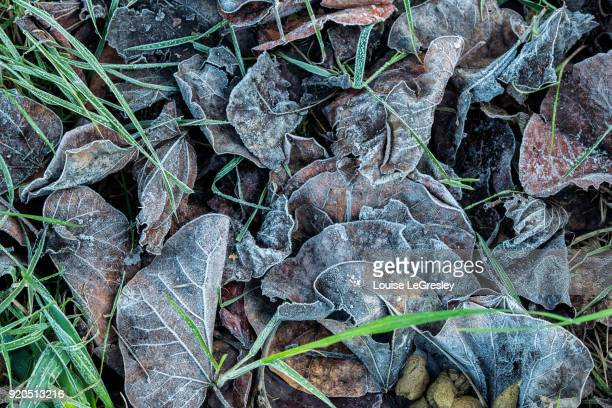 Frost covered leaves on the ground