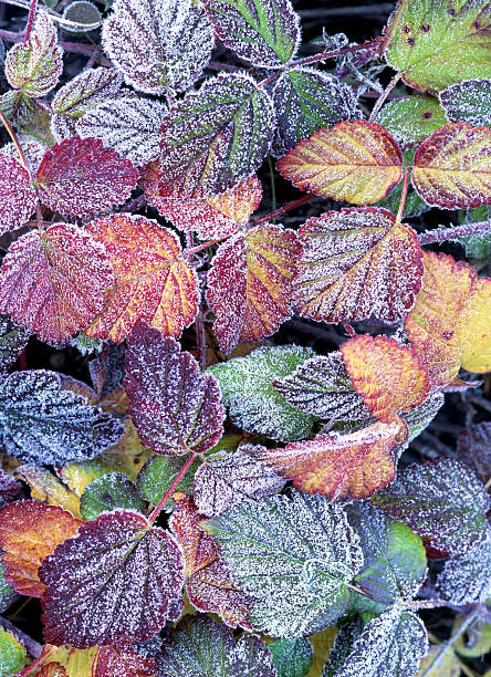 Frost Covered Wild Strawberry Leaves, Mt. Hood, Oregon, USA Wall Art