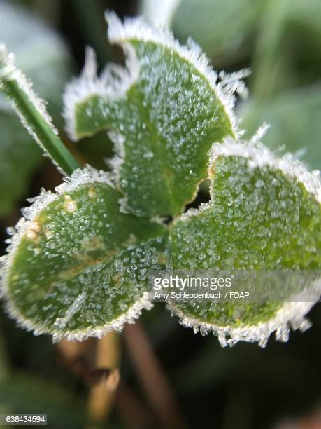 frost on a clover leaf - amy shamrock stock pictures, royalty-free photos & images