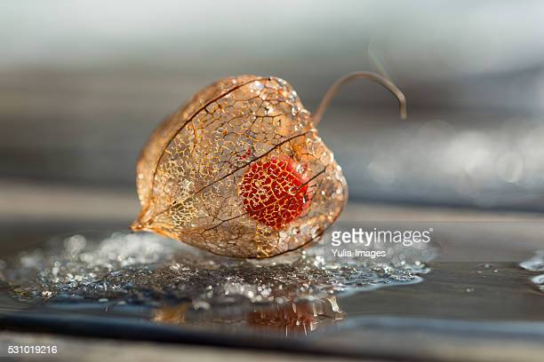 Frost on a Physalis fruit or Cape Gooseberry