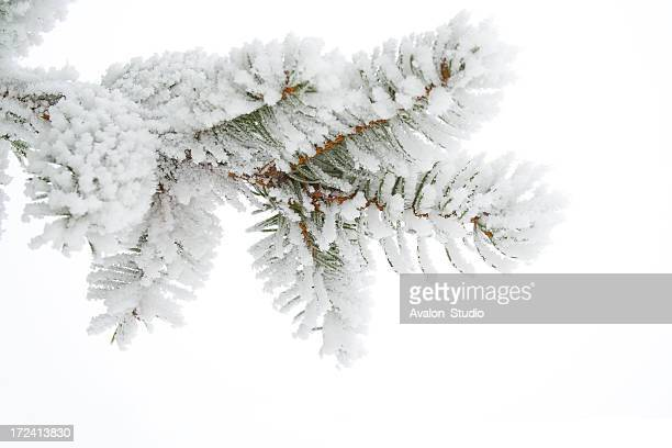 Frost on a twig spruce