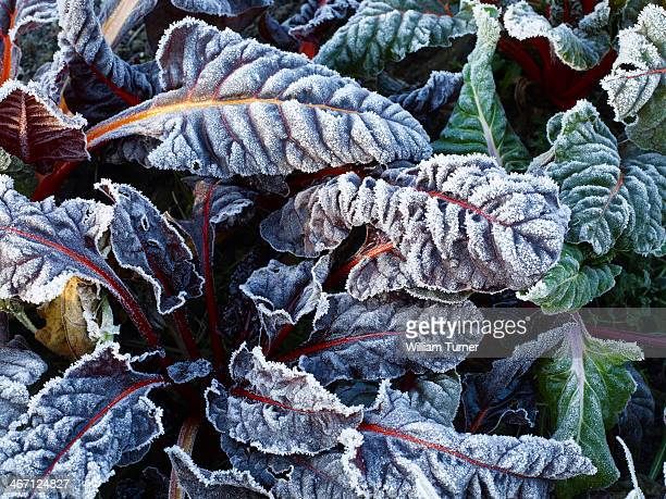 Frost on chard leaves in winter