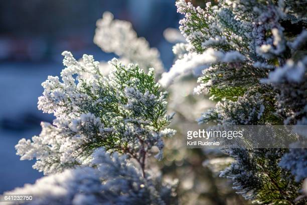 Frost on coniferous tree, close-up view