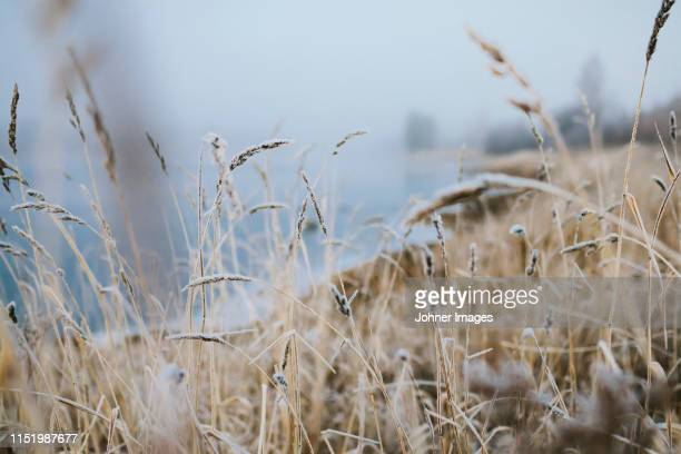 frost on grass - reed grass family stock pictures, royalty-free photos & images