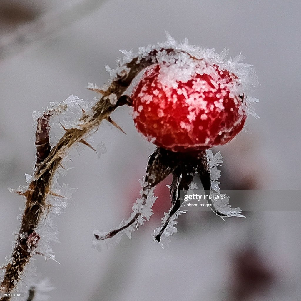 Frost on rosehip : Stock-Foto