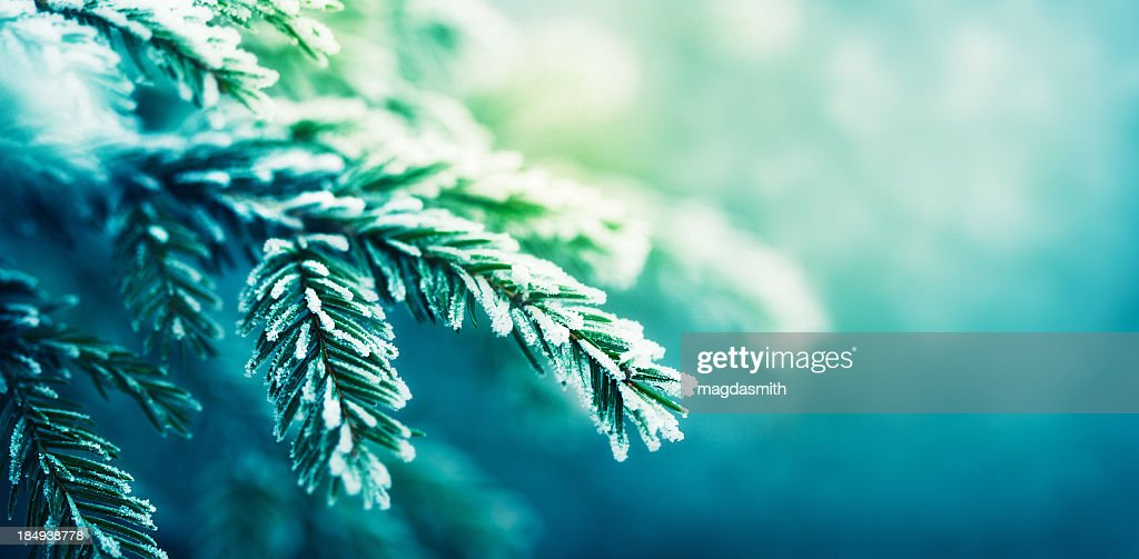 frost-covered spruce tree branch : Stock Photo