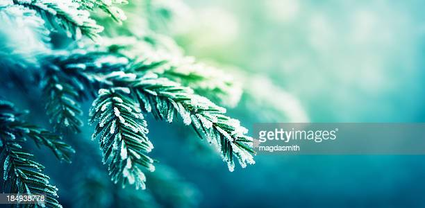 frost-covered spruce tree branch - spruce tree stock pictures, royalty-free photos & images