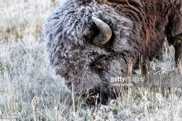 Frosted American Bison (Bison bison) grazing in Yellowstone National Park, Wyoming, USA