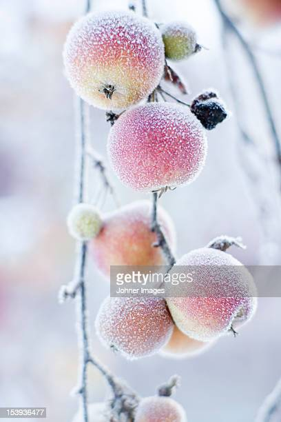 Frosted apples on branch