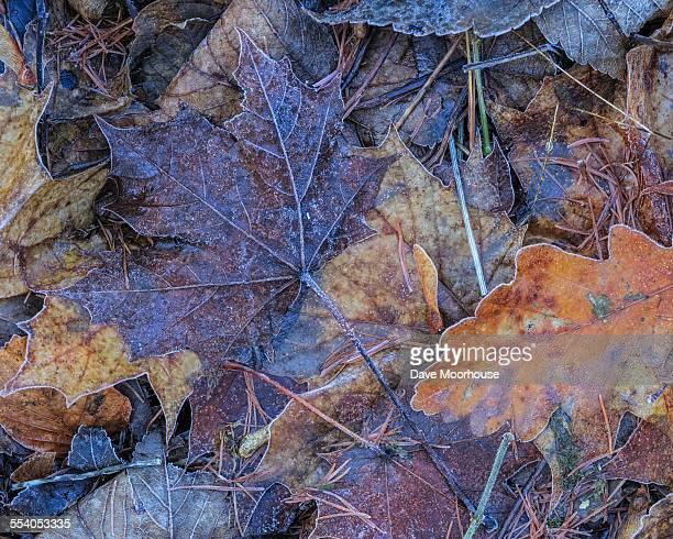 Frosted Autumn leaves on the ground