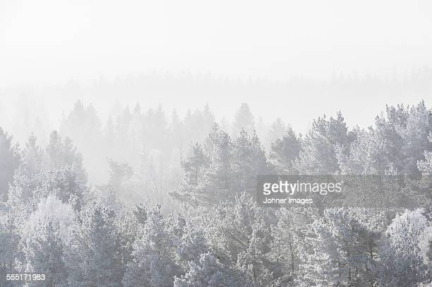 Frosted forest in fog