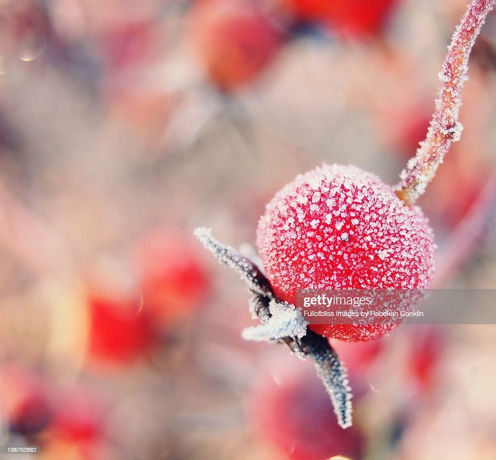 Frosted rose hip : Stock Photo