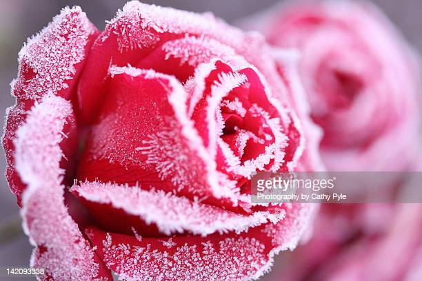 frosted rose - cathy rosier photos et images de collection