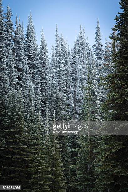 Frosted trees near Vista pass, Monashee Mountains, British Columbia, Canada