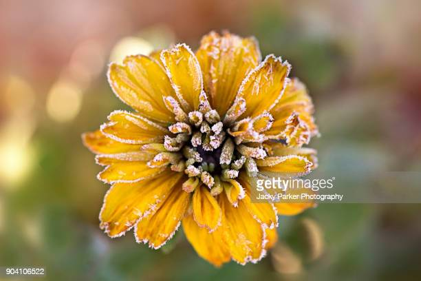 Frosted yellow Rudbeckia flower also known as Coneflower