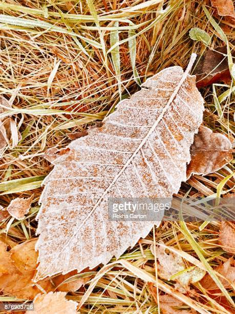 a frosty autumn leaf - rekha garton stock pictures, royalty-free photos & images