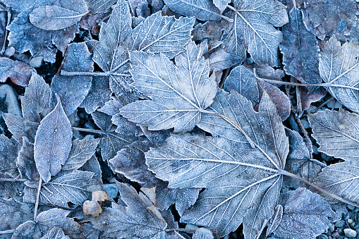 Frosty autumn leaves background 933868478
