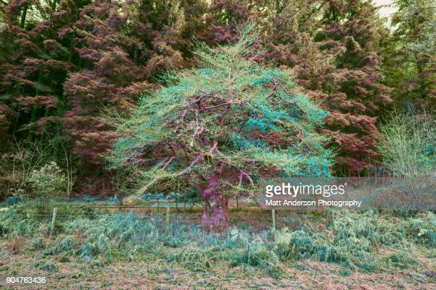 Frosty Colorful Scottish Tree Green