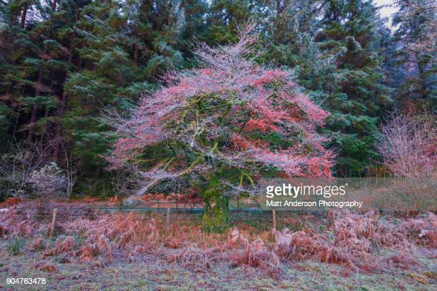 Frosty Colorful Tree Red