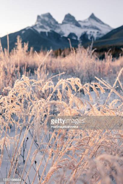 frosty grass in front of three sisters mountain at sunrise, kananaskis country, canmore, alberta, canada - canada stock pictures, royalty-free photos & images