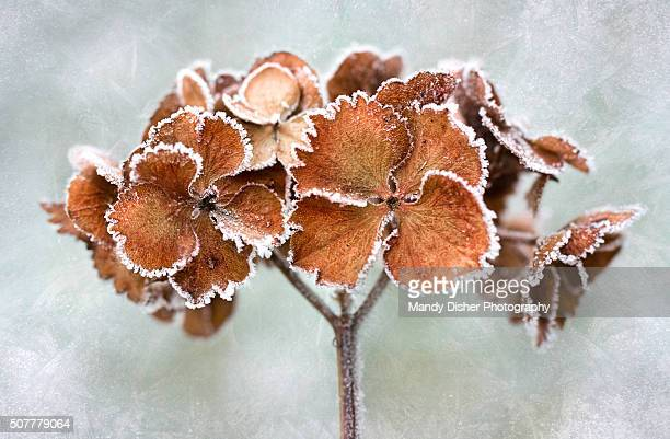 frosty hydrangea - mandy pritty stock pictures, royalty-free photos & images